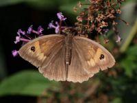 Meadow brown - Maniola jurtina (bruin zandoogje)