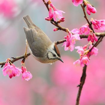 TITMOUSE AND CHERRY BLOSSOMS