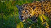 THEME The Majestic Earth:- The Jaguar