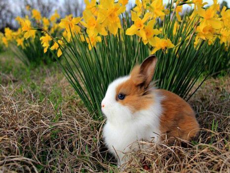 Bunny and Daffies