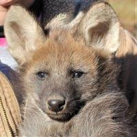 Girl-maned-wolf-puppy2018_web