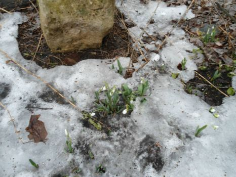 Snow drops are making an appearance