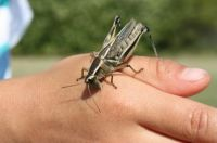 Big Grasshopper - just before it chomped!