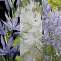 Collection-camassias