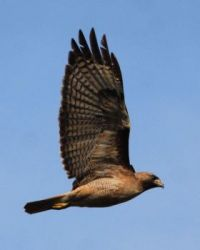 Red-tailed Hawk, North Shore 3 Trail, San Diego, California