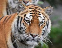 3  ~  Tiger.