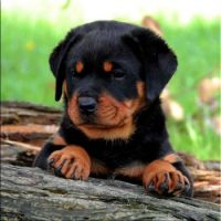 Rottie Pup-Playing-LUKA-L2 Litter-(1)