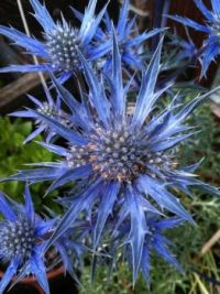 Eryngium amethystinum ~ Sea Holly