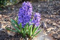 Spring Hyacinth-Purple