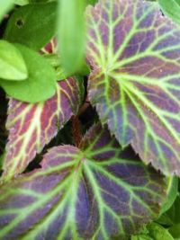 begonia leaves--more challenging