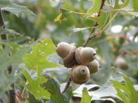 Pin Oak Seeds