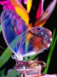 Amber Phantom Butterfly
