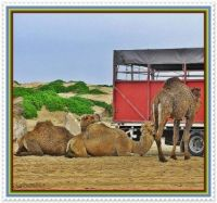 Anyone for a Camel Ride??