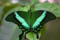 4  ~  'Green Moss Peacock'