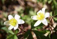 Sasanky - anemones