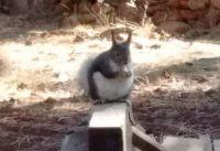 Chubby Kaibab Squirrel