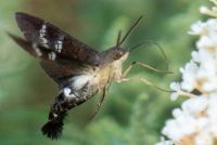Hummingbird Moth - Chicago Botanical Garden