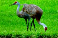 Beautiful sandhill cranes