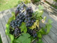 A few of my grapes