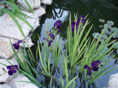 pond is blooming with irises