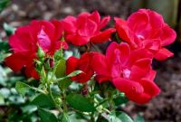 Roses in the garden of historic Cragfont . .