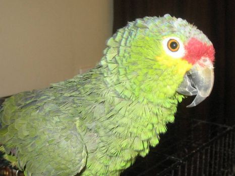 Gabby Gus - Red Lored Amazon