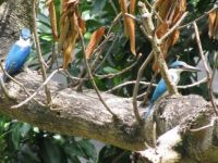 A pair of Kingfishers popped by