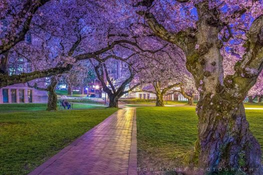 Cherry Trees at University of Washington by Bob Noble