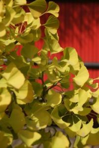 Gingko bonsai
