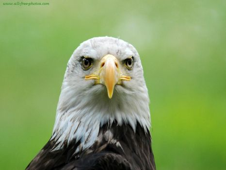THEME: Birds~Bald eagle (pic cropped)