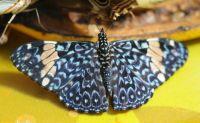 Cracker Butterflies