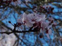 Asian cherry blossoms