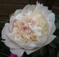 Peonies are blooming again....