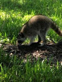 Friendly raccoon