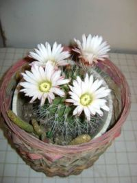 cactus with flower3