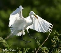 Egret on Approach