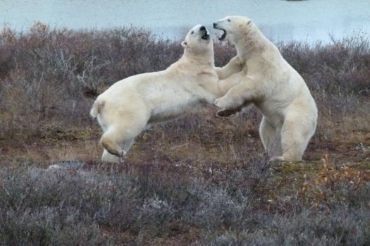 Polar Bear Jive