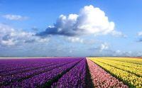 flowersfield4
