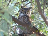 Great Horned Owl joined us for morning coffee...