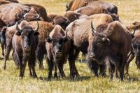 bison-grand-canyon-park