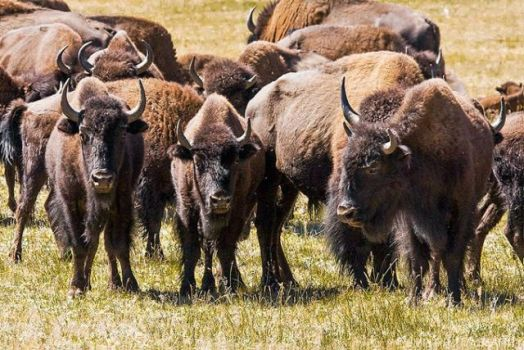 bison-grand-canyon-park