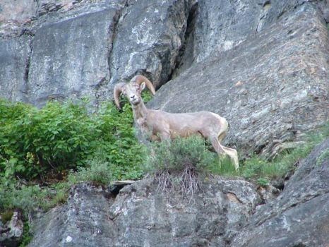 Big Horn Sheep @ Glacier National Park