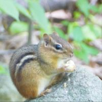Chipmunk with nut in park