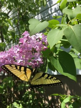 Butterfly on lilac in my garden
