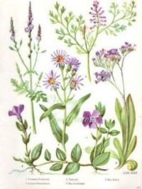 Botanical Prints - Lavender