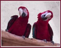 "macaws singing ""Stormy Weather"""