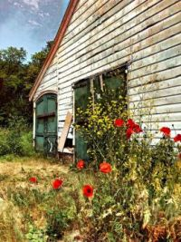 Poppies & old sheds (a perfect match)