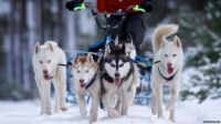 The Royal Canin and Siberian Husky Club of Great Britain's 32nd Aviemore Sled Dog Rally has been taking place.