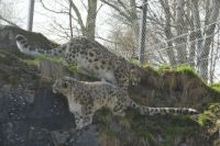 Snow Leopards.....Highland Wildlife Park