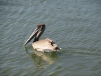 Meet Pete !  The Brown Pelican !